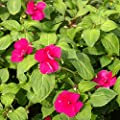 Outsidepride Impatiens - Baby Carmine Seeds