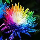 Kisshes Seedhouse - Rare grainé Marguerite d'été Arc en ciel 'Coloré', grainé fleur jardin plantes vivaces pour vos bordures, massifs et jardinières
