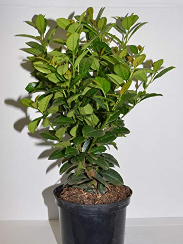 immergrüner Kirschlorbeer Prunus laurocerasus Ani -R- 40-60 cm hoch im 5 Liter Pflanzcontainer