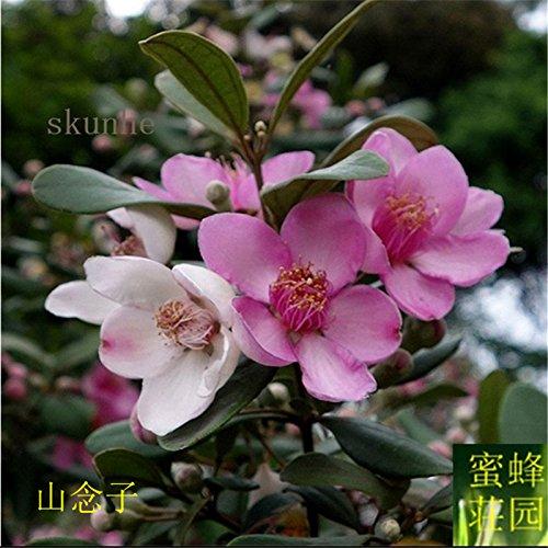 Régulier Nouveau Nouveaux semences Myrtle authentique Utilisé Montagne Sous-arbre Très bons fruits 100 graines (tao jin niang)