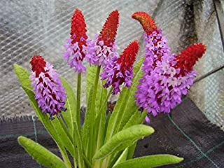 CROSO Germination Seeds ONLY NOT Plants: 30 Orchid Primrose Seeds Primula Vialii Hardy 30 Seed
