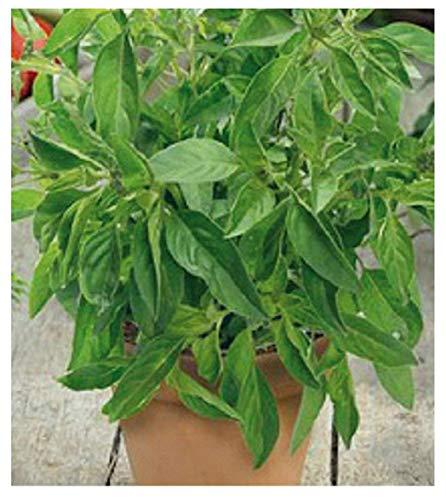 900 Aprox. - Graines de basilic Citron - Ocimum Citriodorum Dans emballage d'origine Made in Italy - Truffe de légumes