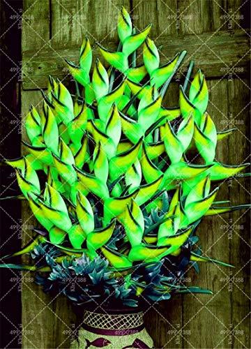 100 Stück Seltene Heliconia Pflanzen Essbare Schönheit Essbare Kosmetik Gemüse und Obst Bonsai Herb Baum Pflanzen für Haus & Garten