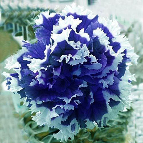 Green Seeds Co. 100 Pcs/Sac Jardin Pétunia Fleurs Plantes Pour Jardin Semillas De Flores Bonsaï Montre Accueil Plantes Balcon Mixte Couleur * P: Jaune