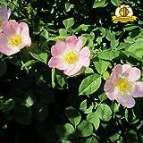 Qulista Samenhaus - Duftend 50pcs Rarität Heckenrose Canina Wildrosen Hunds-Rose Blumensamen winterhart mehrjährig für freiwachsende Hecken,an Böschungen, Knickpflanze