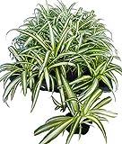 オリヅルラン 斑入り 5ポットセット 3号苗 観葉植物 苗 セット販売 まとめ売り