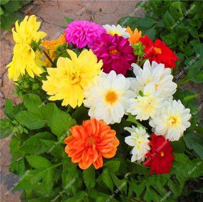Double Dahlia Seed Mini Mary Fleurs Graines Bonsai Plante en pot bricolage jardin odorant fleur, croissance naturelle de haute qualité 50 Pcs 6