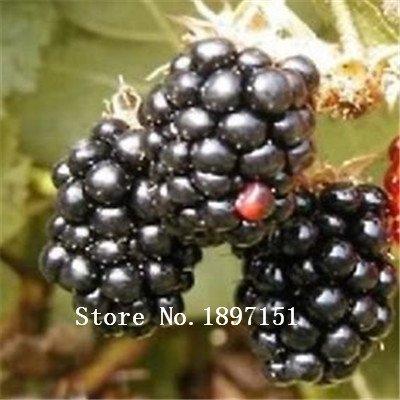 Big vente 200nutritious Pre-stratifiées Jumbo Seeds Thornless Blackberry, juteux, doux, graines de fruits sains