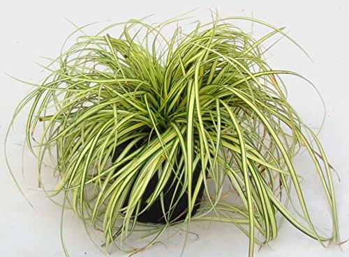 Carex hachijoensis'Evergold' -...