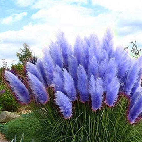 CANHOT Seeds -100Pcs Blue Pampas Grass Cortaderia Selloana Flower Rare Reed Plant Seeds Garden…
