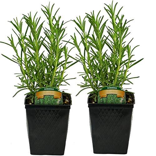 FERRY Bio-Saatgut Nicht nur Pflanzen: 2 Rosmarin ARP Hardyted Bio Non-GMO SP | Garden