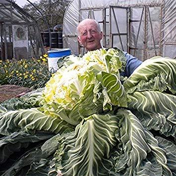 Vista Semi di cavolfiore gigante 50 pezzi di semi di bonsai vegetale per giardino e casa interesse vegetale esotica fattoria facile da piantare