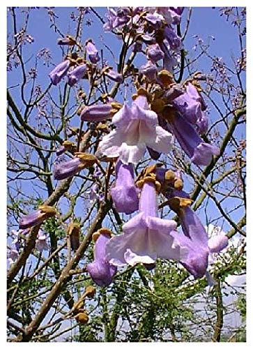 TROPICA - Paulownia (Paulownia tomentosa) - 200 graines- Résistant au froid