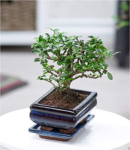 BALDUR Garten Bonsai Carmona Fukientee mit Schale, 1 Pflanze Zimmer Bonsai Zimmerpflanze