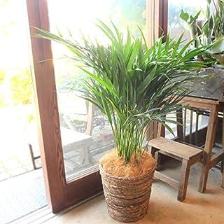 アレカヤシ 7号鉢サイズ 鉢植え
