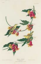 Fine Art Print - Robert Havell after John James Audubon - Rathbone Warbler 1829 - Vintage Wall Decor Poster Reproduction - 30in x 44in