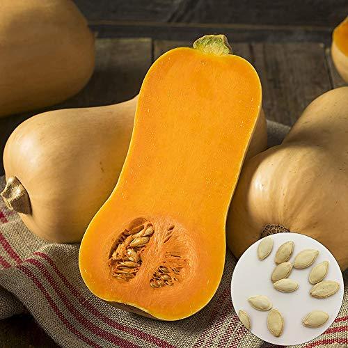 Catkoo 100Pcs Sweet Butternut Squash Seeds Nutritivo Vegetable Garden Farm Yard Plant, Sin OMG, Rico En Vitamina C Semillas de Calabaza