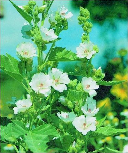 Seedeo Eibisch (Althae officinalis) 100 Samen