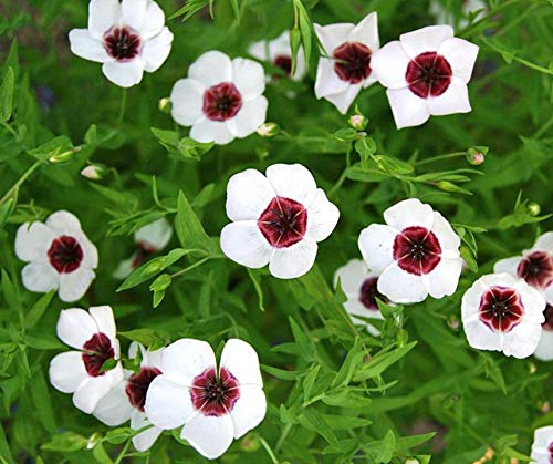 Bobby-Seeds Blumensamen Lein Bright Eyes Portion