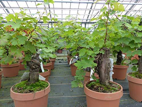 Mini-Bonsai knorrige Weinrebe Weinstock Weintraube, Vitis Vinifera 18