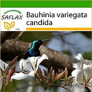 Bauhinia Variegata 5 Semillas de /árbol de orqu/ídea RLP049