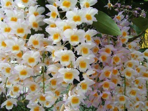 1 blühfähige Orchidee der Sorte: Dendrobium farmeri, 14cm Topf