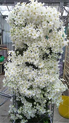 HONIC 1 PC/Tasche Clematis Birnen Bonsai sementes' Indoor Blumen Klematis Spalier Clematis Pflanzen Live-Blumen-Flor: 3
