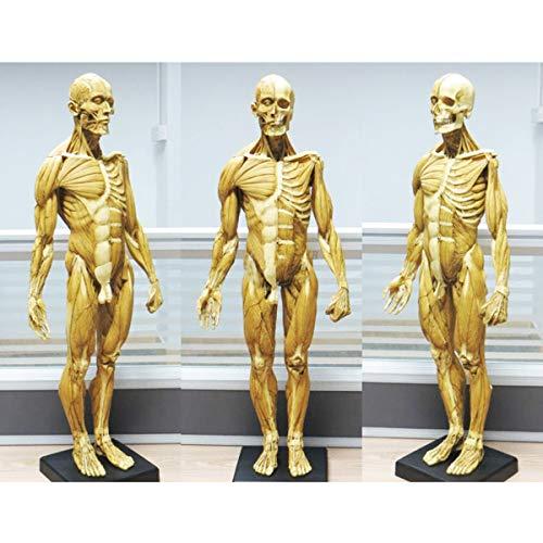 SHUAI 23,6 Zoll / 60 cm Männliche Anatomie-Figur Menschliches Muskelskelett Anatomisches Modell Gemälde Skulptur Anatomische Referenz Für Künstler