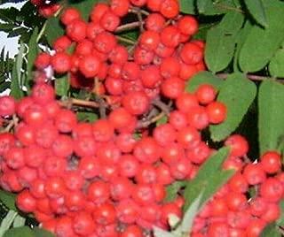 hosta cherry berry