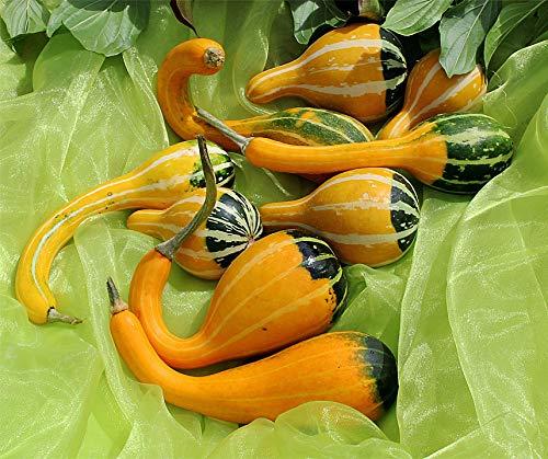 Bobby-Seeds Kürbissamen Zierkürbis Kelle Bicolor Portion