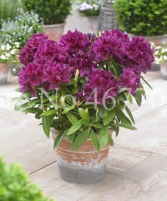 50Pcs Ese Azalea Semi Rhododendron Azalea semi di fiore coperta copertura del fiore di Diy semi giardino della casa Decor: 3