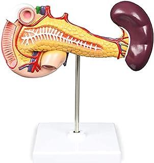 脾臓、膵臓および十二指腸モデル。膵臓、十二指腸、脾臓の構造を示す、22のサイトインジケーターがあります。