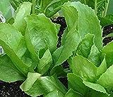 PLAT FIRM SEMILLAS DE GERMINACION: 300 - Semillas: semillas de endibia de hoja bataviana - las hojas son como lechugas, grandes y anchas!