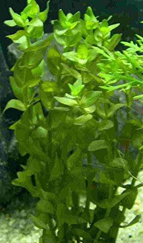 Mühlan - 7 Bund/Portionen Fettblatt für Teich und Aquarium, der dekorakive Unterwasserwald