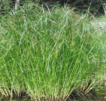 WFW wasserflora Langes Zyperngras/Cyperus Longus im 9x9 cm Topf