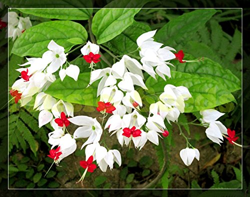 1bag = 100pcs Clerodendron thomsonea semences JAPONAIS mini-graines de fleurs à bulbe rouge pot décoration bonsaï maison et le jardin