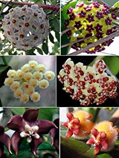 100 Pcs Hoya Carnosa Flower Seeds Rare Ball Orchids Potted Plants Bonsai in Home