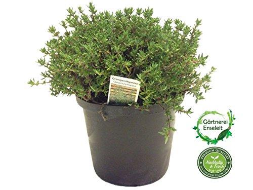 Orangenthymian, Orangen Thymian, Frische Kräuter Pflanze