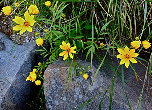1 oz Seeds (Approx 8600 Seeds) of Bidens aristosa, Swamp Marigold