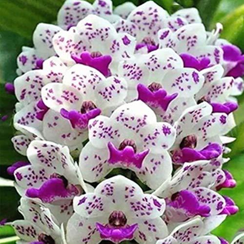 100 Pz/Borsa Semi Di Phalaenopsis Piante Aromatiche Cymbidium Piantine Di Fiori Di Orchidee Perenni Per Ufficio Semi Di Piante Da Giardino Semi di Phalaenopsis