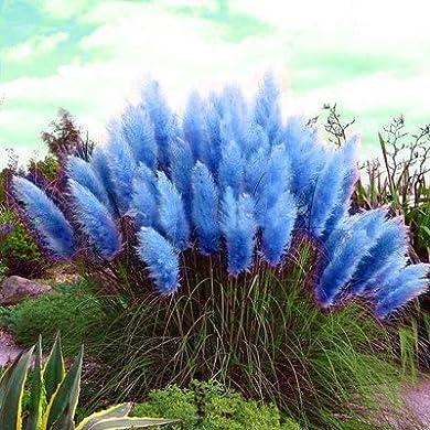Foto di 1200 Semi Pcs / Package Pampas Erba, semi rari Reed fiore per il giardino domestico di impianto Selloana Semi Giardino decorazione di DIY!