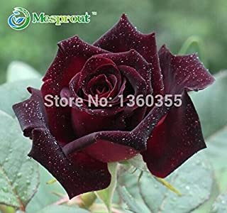 Black Baccara Rose Seeds 50PCS Black Rose seeds Flower seeds Garden Home Bonsai Plant Beautiful Flower