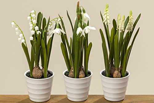 Boltze Deko Pflanzen im Topf Frühlingspflanzen Maiglöckchen Schneeglöckchen Traubenhyazinthen 3er Set