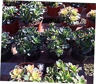 TEE 1 Bare Root Succulent Plant. Mature Aeonium Kiwi - RK69