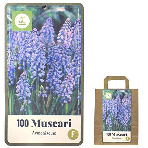 Verschiedene Blumenzwiebeln in Geschenkverpackung - Zwiebeln, Knollen verschiedener winterharter Pflanzen für Garten und Balkon - bunt, mehrjährig, für Topf und Beet (100 Muscari Zwiebeln blau)