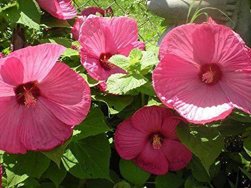 VISA STORE Schöne Huge Rosa Speiseteller! 10 Samen!