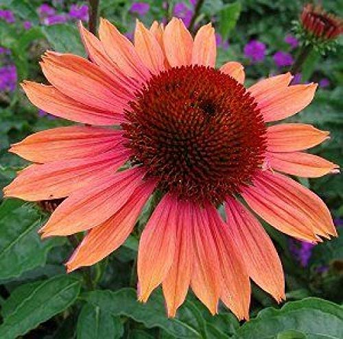 3 x Echinacea Purpurea 'Summer Sky' - Rudbeckia pourpre - Godet 9x9cm