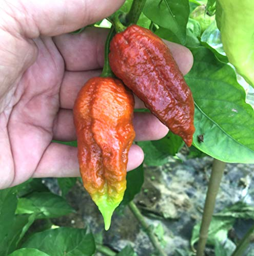 10 Pure Graines De Le Piment Chili BROWN BHUTLAH: Le Prochaine ? Piment Chili Plus Piquant Du Monde 1.800.000 Shu