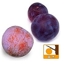 スモモ(プラム)2種受粉樹セット:貴陽(キヨウ)サンタローザ[苗木]