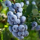 Vaccinium corymbosum 'Brigitta Blue'   Blaubeeren Strauch Bio   Heidelbeeren Pflanzen kaufen   Beerenpflanzen Winterhart   Höhe 65-75 cm   Topf-Ø 15 cm